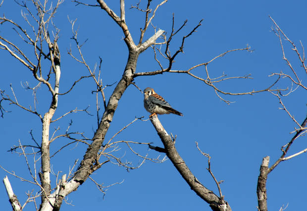A Kestrel falcon is one of the species of wildlife that visitors to the Washita National Wildlife Refuge might see on Saturday during a wildlife viewing tour.