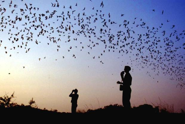 About 1 million bats can be seen as they leave the Selman Bat Cave at feeding time.