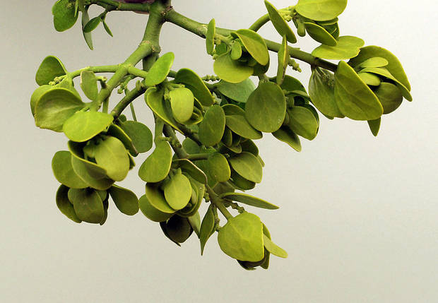 PLANT, PLANTS: Mistletoe