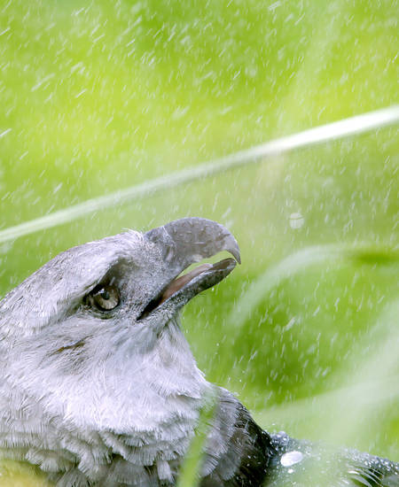 A Harpy Eagle cools off in the mist of a nearby sprinkler in his enclosure at the Oklahoma City Zoo on Monday, July 11, 2011. Photo by John Clanton, The Oklahoman