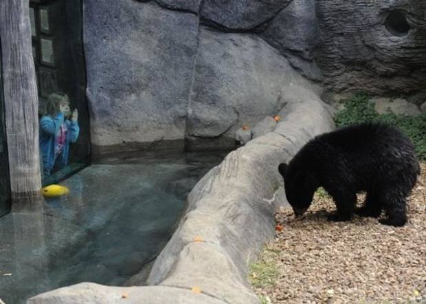 The black bear that scaled a 10-foot fence at the Knoxville, Tenn., zoo is shown in an enclosure. (Photo by Amy Smotherman Burgess/News Sentinel)