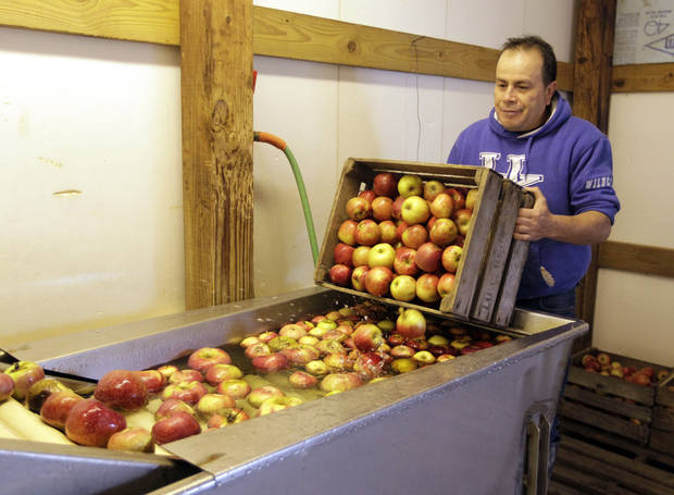 Andre Moralais dumps a crate of apples into the cleaning solution at the start of the cider making line at the Tuttle Orchards, in Greenfield, Ind., on Monday. AP Photo <strong>Michael Conroy</strong>