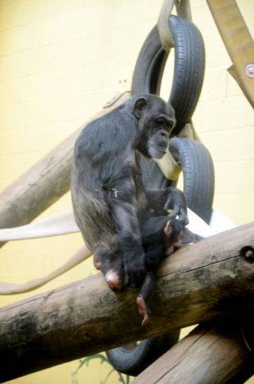 Siri the chimpanzee was adopted by the Oklahoma City Zoo after her mother - the oldest chimp on record to give birth - couldn't care for her. She was adopted by Kito, who is filling in as a surrogate mother. <strong>Dr. Jen D�Agostino - PHOTO PROVIDED</strong>