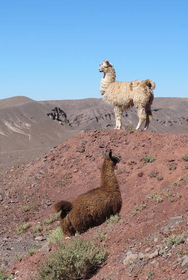 This August 2012 photo shows llamas grazing off the highway in Chile's Atacama Desert. The destination is a popular add-on for tourists visiting Easter Island, Peru and Patagonia. (AP Photo/Karen Schwartz)