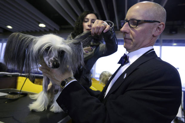 Karen Spinazzola, background, and David Bowen, of Cleveland, Ohio, groom Vinny, a Chinese Crested during the 137th Westminster Kennel Club dog show, Monday, Feb. 11, 2013 in New York.  (AP Photo/Mary Altaffer) ORG XMIT: NYMA105