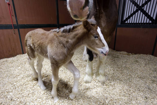 A young Clydesdale foal walks around the feet of her mother at Warm Springs Ranch Wednesday, Jan. 30, 2013, in Boonville, Mo. The foal, born Jan, 16, 2013 at the ranch, is the star of a Budweiser commercial set to air during Super Bowl XLVII on Sunday. (AP Photo/Jeff Roberson)
