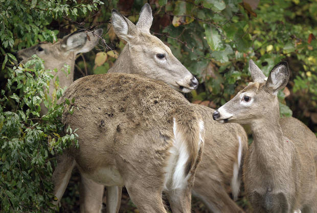 The number of registered whitetail deer continues to increase, making the genetic history of each animal easier to trace. AP ARCHIVE PHOTO