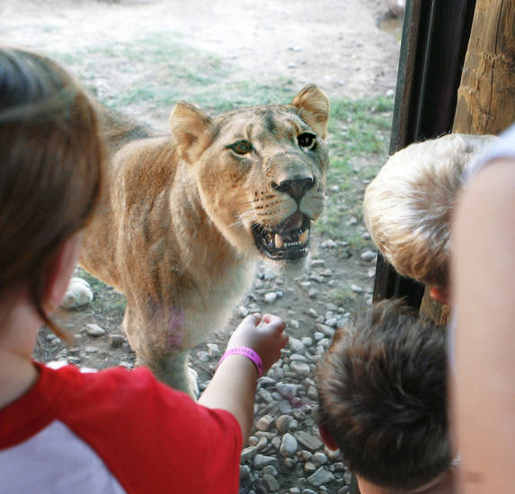 Children get a close look at a young lion at the  Oklahoma City Zoo in June. OKLAHOMAN ARCHIVE photo