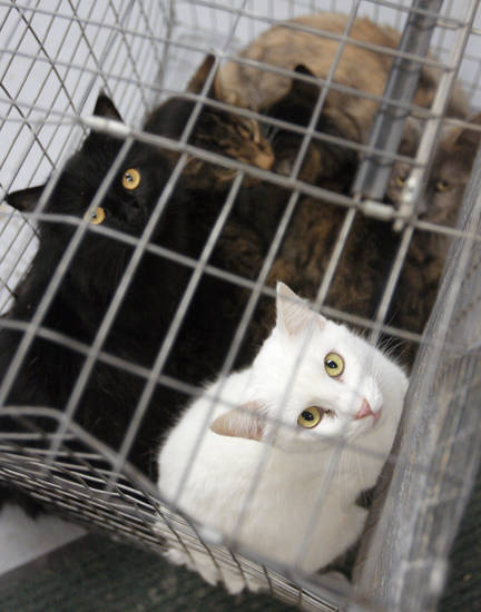 Several cats share a cage at the El Reno animal shelter after being removed Tuesday from a house in El Reno.  PHOTO BY BRENDA O'BRIAN,  THE OKLAHOMAN