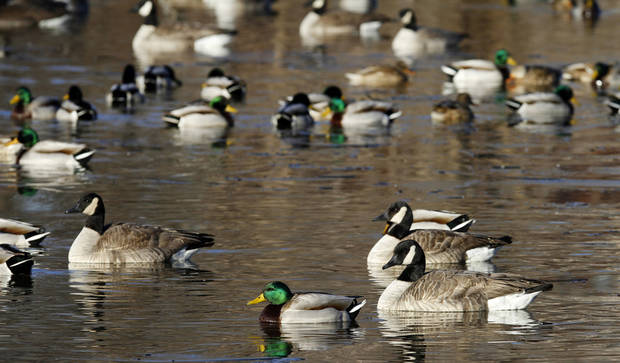 Flocks of Canada geese and mallards on Woodrun pond in Yukon, Tuesday  January  16, 2013. Photo By Steve Gooch, The Oklahoman