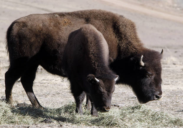 This photo taken on Dec. 7, 2012 shows bison feeding at the Buffalo Herd Overlook west of Denver. They&#039;re kept behind fences about 20 miles west of town on Interstate 70, where an overlook near Exit 254 offers great opportunities to photo the creatures with the Rocky Mountains on the horizon. Interstate 70 can be seen in the distance. (AP Photo/Ed Andrieski)