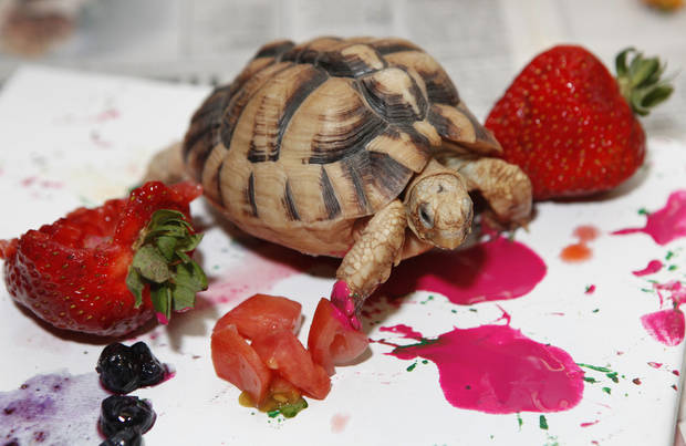 Tempera paint is used for creating paintings by an Egyptian tortoise at the Oklahoma City Zoo.  Photo by Steve Gooch, The Oklahoman Archives