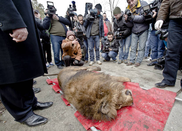 A sedated lion is surrounded by media at the estate of Ion Balint, known to Romanians as Nutzu the Pawnbroker, a notorious gangster, in Bucharest, Romania, Wednesday, Feb. 27, 2013. Authorities along with specialists of the animal welfare charity Vier Pfoten removed four lions and two bears that were illegally kept on the estate of one of Romania�s most notorious underworld figures who reportedly used them to threaten his victims. Balint was arrested on Feb. 22, with dozens of others on charges of attempted murder, depriving people of their freedom, blackmail and illegally holding arms.(AP Photo/Vadim Ghirda)