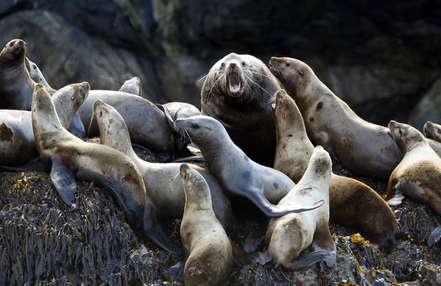 A Steller sea lion growls on cliffs in the Inian Islands Wednesday, June 6, 2012.  Photo by Sarah Phipps, The Oklahoman