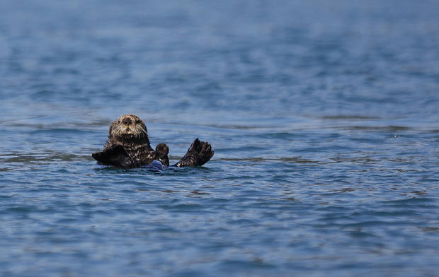 A sea otter swims in waters near the Inian Islands in Southeast Alaska, Wednesday, June 6, 2012.  Photo by Sarah Phipps, The Oklahoman