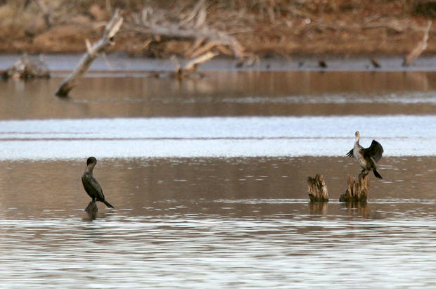 Two cormorants dry their feathers during the annual eagle watch at Arcadia Lake.