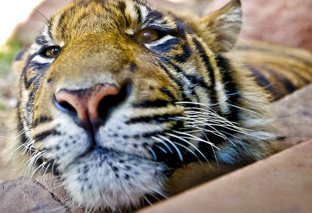 A Sumatran tiger lies in its exhibit Friday at the Oklahoma City Zoo. Photo by Chris Landsberger, The Oklahoman