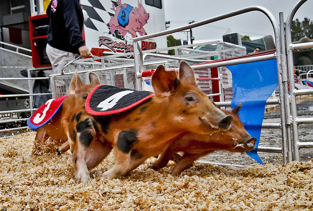 Pigs round the corner during the pig races at the Oklahoma State Fair at State Fair Park on Friday, Sept. 14, 2012, in Oklahoma City, Oklahoma.  Photo by Chris Landsberger, The Oklahoman