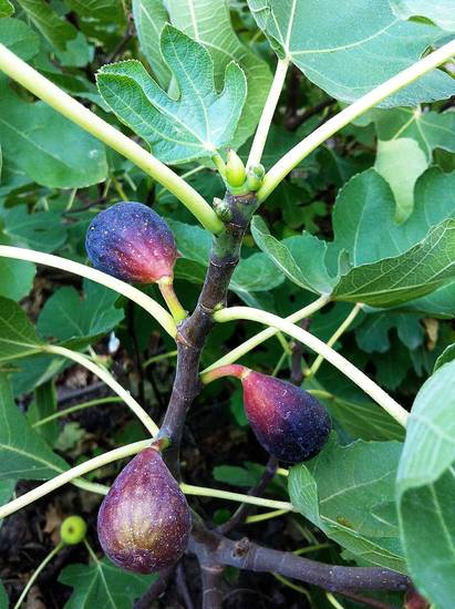 Fresh figs grow locally. PHOTO BY SHERREL JONES, THE OKLAHOMAN <strong>SHERREL JONES - THE OKLAHOMAN</strong>