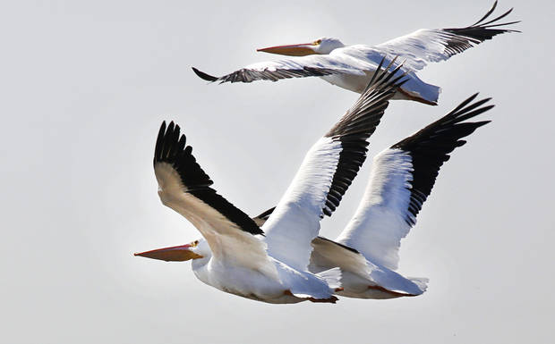 White pelicans take flight at Lake Overholser in Oklahoma City on Monday. A flock of pelicans rest at the lake during their migration to the Gulf Coast. Pelicans are annually spotted by bird watchers during Oklahoma City's annual Christmas Bird Count. PHOTO BY STEVE GOOCH, THE OKLAHOMAN <strong>Steve Gooch</strong>