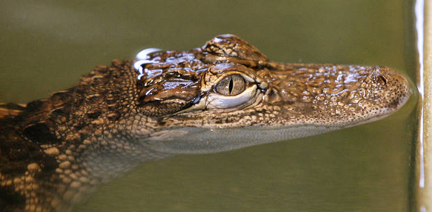 Baby American alligator in the tank - being raised at the Oklahoma Department of Wildlife Conservation Durant Fish Hatchery in Caddo, north of Durant, Tuesday, July 21, 2009. Photo by Paul B. Southerland, The Oklahoman ORG XMIT: KOD