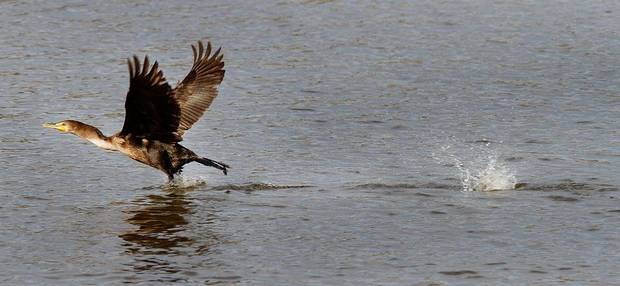 A cormorant takes flight at the Oklahoma City Zoo lake during its migration south in Oklahoma City, Thursday December, 8,  2011. Photo by Steve Gooch, The Oklahoman.