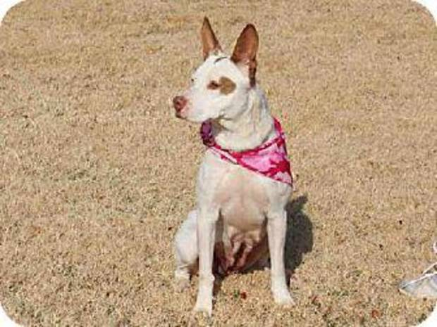 Arizona is a beautiful cattle dog mix.  She is a little timid at first but soon warms up and will want to lean against your legs and be petted.  She has lots of energy and would make a wonderful running partner. Arizona is 2 years old and weighs about 44 pounds. She is available at the Edmond Animal Welfare Shelter.