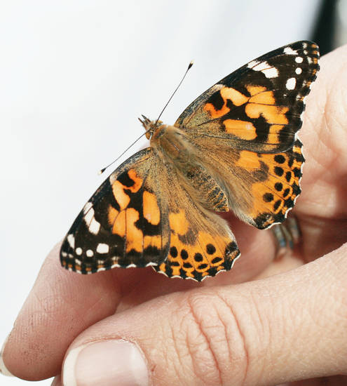 This painted lady butterfly is among more than 100 set to be released on Easter Sunday from Norman's McFarlin United Methodist Church. PHOTO BY JACONNA AGUIRRE, THE OKLAHOMAN