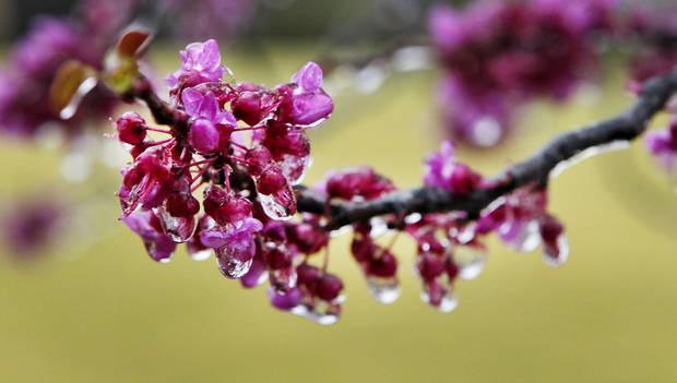 Above: Ice covers Red Buds on Wednesday at the Oklahoma City National Memorial & Museum.