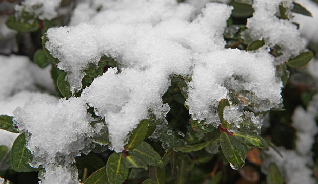 Snow accumulating on the bushes in Will Rogers Park in Oklahoma City Monday, Feb. 8, 2010. Photo by Paul B. Southerland, The Oklahoman