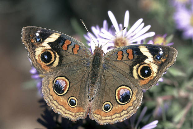 The Common Buckeye, Junonia coenia, is a stunning sight whenever it's encountered in Oklahoma. This one is obtaining nectar from asters on a fall day. <strong>Bryan E. Reynolds</strong>