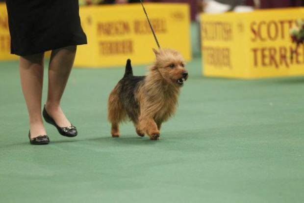 "THE WESTMINSTER KENNEL CLUB DOG SHOW -- ""The 135th Westminster Kennel Club Dog Show at Madison Square Garden on Tuesday, February 15, 2011"" -- Pictured: Norwich Terrier -- Photo by: Jason DeCrow/USA Network"