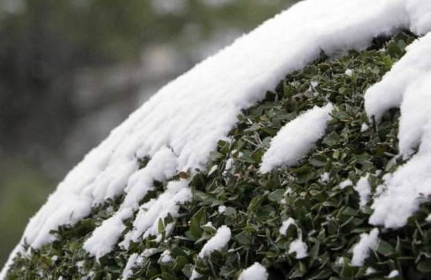 Snow clings to a manicured bush after about an inch of snow fell overnight in Oklahoma City, OK, Monday, Feb. 13, 2012. By Paul Hellstern