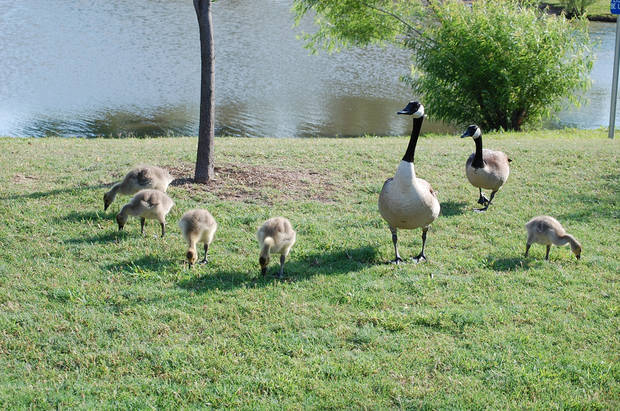 Canadian Geese family feeds by the pond at the Bethany library<br/><b>Community Photo By:</b> Cindi Tennison<br/><b>Submitted By:</b> Cindi , Bethany