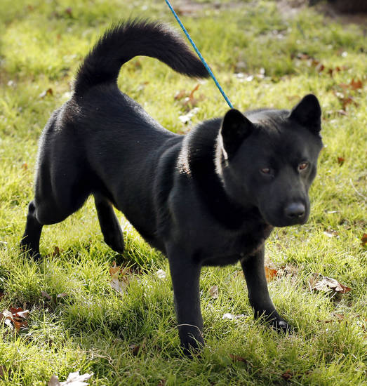 This 2-year-old black akita is available for adoption at Norman Animal Welfare, 3428 S Jenkins Ave. He is current on shots and will be neutered before adoption is finalized. He also has an identifying microchip implant. Fee is $60. For more information, call 292-9736. PHOTO BY STEVE SISNEY, THE OKLAHOMAN