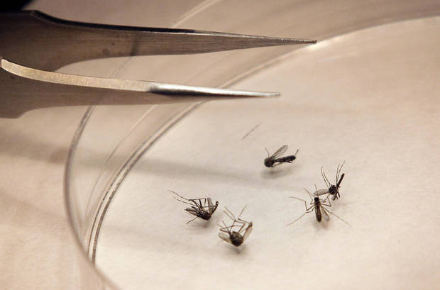 FILE - In this Aug. 16, 2012 file photo, mosquitos are sorted at the Dallas County mosquito lab in Dallas.  Hantavirus, West Nile, Lyme disease and now, bubonic plague. The bugs of late summer are biting, although the risk of getting many of these scary-sounding diseases is very small. West Nile is spread through mosquitoes.    (AP Photo/LM Otero, File) ORG XMIT: NY114