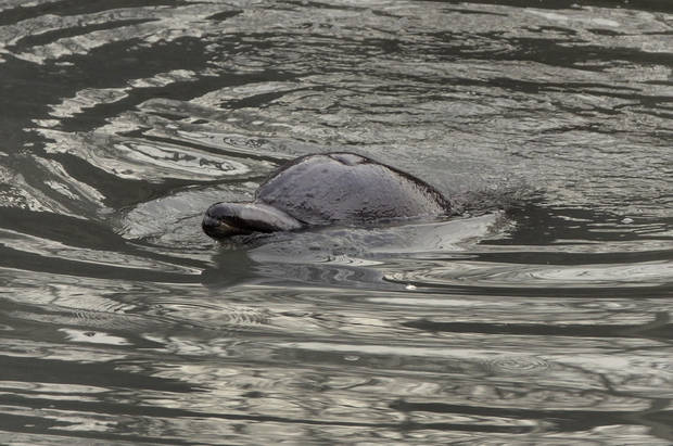 ADDS THAT THE DOLPHIN HAS DIED - A dolphin surfaces in the Gowanus Canal in the Brooklyn borough of New York,  Friday, Jan. 25, 2013. The New York City Police Dept. said animal experts were waiting to see if the dolphin would leave on its own during the evening's high tide. If not, they plan to lend a hand on Saturday morning. A wayward dolphin that meandered into a polluted urban canal, riveting onlookers as it splashed around in the filthy water and shook black gunk from its snout, died Friday evening, marine experts said. (AP Photo/Richard Drew)