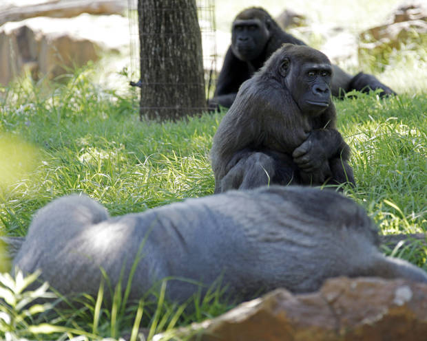 Gorillas rest in the shade at the Oklahoma City Zoo in Oklahoma City, Friday, May 29, 2009. Photo by Nate Billings, The Oklahoman