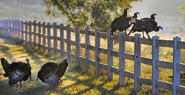WILD TURKEY: A gang of turkey in Logan County, October 12 , 2010. Photo by Steve Gooch, The Oklahoman ORG XMIT: KOD