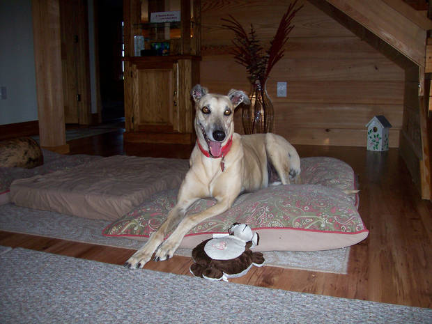 Cocopuff is a 12-year-old greyhound owned by Christine Anderson of Lady Lake, Florida. Photo provided