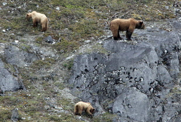 A bear and its two cubs walk on cliffs in Glacier Bay, Alaska, Thursday, June 7, 2012.  Photo by Sarah Phipps, The Oklahoman