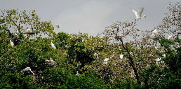 Egrets gather in a rookery in Oklahoma City near NW 10 and Council Road. Officials in Midwest City are preparing for the arrival of egrets this spring and hope to keep them from establishing a rookery. Photos by Steve Gooch, The Oklahoman