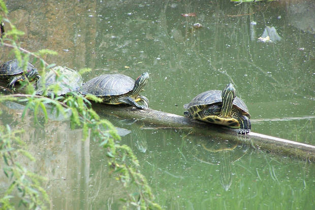 Turtles at Myriad Gardens<br/><b>Community Photo By:</b> Cindi Tennison<br/><b>Submitted By:</b> Cindi , Bethany