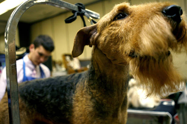 Bo, an Airedale terrier, is brushed by dog grooming assistant Wille Dede, 18, during the Oklahoma City Dog Show at the Cox Convention Center in Oklahoma City Thursday, June 25, 2009.  Photo by Ashley McKee, The Oklahoman