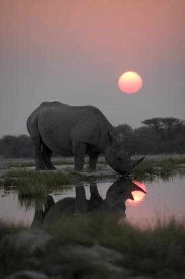 A black rhino arrives early to a night time gathering of his species at a secret waterhole. The incidence of poaching of black rhino has risen to shocking levels in the last 5 years, so the Africa crew captured this unique behaviour for the first, and possibly the last time. Photo Credit: Credit: Discovery Channel/BBC/Paul Brehem