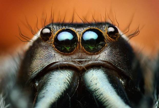 A macrophotograph of Paraphidippus aurantius, a male jumping spider, is part of the &acirc;Beautiful Beasts: The Unseen Life of Oklahoma Spiders and Insects&acirc; exhibit at the Sam Noble Oklahoma Museum of Natural History. Photos provided