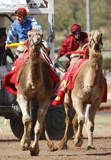 CAMEL RACING / RACES: From left to right, G.R. Carter and Little Sheeba, and Jennifer Schmidt and Sahara Sara race during Extreme Racing, Sunday, April 10, 2011, at Remington Park in Oklahoma City. Photo by Sarah Phipps, The Oklahoman ORG XMIT: KOD