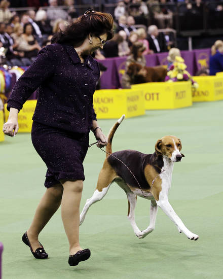 American Foxhound, Jewel, is shown with the hound group during the Westminster Kennel Club dog show, Monday, Feb. 11, 2013, at Madison Square Garden in New York. Jewel won the group. (AP Photo/Frank Franklin II) ORG XMIT: MSG103