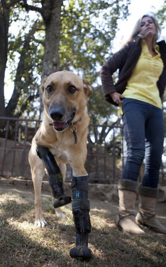 "Belgian shepherd mix, Pay de Limon or Lemon Pie, utilizes his prosthetic front legs on the grounds of the ""Milagros Caninos,"" sanctuary for abused and abandoned dogs, in Mexico City, Friday, Jan. 11, 2013. Sanctuary owner Patricia Ruiz, right, says Pay de Limon, who was fitted with prosthetic front legs, was found last February in a trash can where he was left to die after his two fronts legs were surgically removed. Pay de Limon is one of 128 abused dogs living in the vast Milagros Caninos sanctuary in southern Mexico City. (AP Photo/Eduardo Verdugo)"