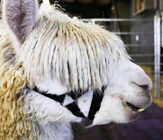 Alpacas like this one were on display at the alpaca show in Shawnee. PHOTO BY JIM BECKEL, THE OKLAHOMAN